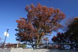 Oak TreeNovember 14, 2007