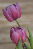 TulipsMarch 27, 2008