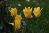Yellow TulipsMay 11, 2008