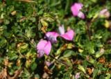Puktörne (Ononis spinosa)