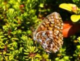 Frejas pärlemorfjäril (Boloria freija)
