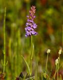 Brudsporre (Gymnadenia conopsea)