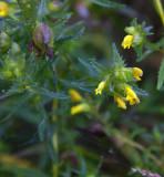 Ängsskallra (Rhinanthus minor)