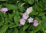 Åkervinda (Convolvulus arvensis)