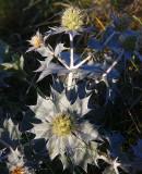 Martorn (Eryngium maritimum)