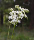 Brudbröd (Filipendula vulgaris)