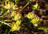 Getväppling (Anthyllis vulneraria)