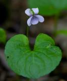 Kärrviol (Viola palustris)
