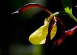 Guckusko (Cypripedium calceolus)