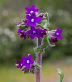 Oxtunga (Anchusa officinalis)
