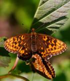 Bäckpärlemorfjäril (Boloria thore)