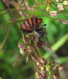 Strimlus (Graphosoma lineatum)