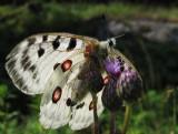 Apollofjäril (Parnassius apollo)