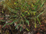 Stenmalört (Artemisia rupestris)