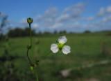 Svalting (Alisma plantago-aquatica)