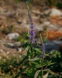 Bredbladig strandveronika (Veronica longifolia var. longifolia)