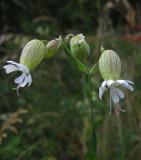 Smällglim (Silene vulgaris)