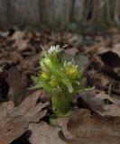 Vitskråp (Petasites albus)