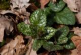 Gulplister (Lamiastrum galeobdolon)