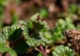 Mjukplister (Lamium amplexicaule)