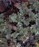 Gullpudra (Chrysosplenium alternifolium)