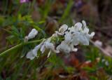 Hålnunneört (Corydalis cava)