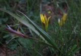 Pommersk vårlök (Gagea pomeranica)