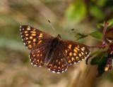Gullvivefjäril (Hamearis lucina)
