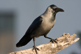 Corvidae - Crows, Jays