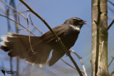 Rhipiduridae - Fantails