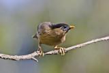 Brahminy starling (Sturnus pagodarum)