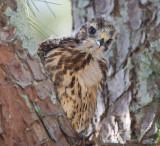 Red-shouldered Hawk Chick
