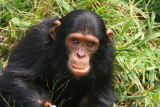 This is the youngest chimpanzee on the island.