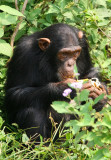 The chimpanzees are fed several times per day, which makes for excellent photo opportunities.