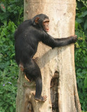 Several tall trees near the fence make favorite climbing spots for the chimpanzees.