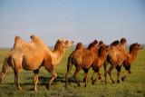Bactrian Camels near Dalanzadgad