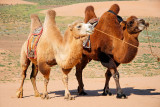 Bactrian Camels -- all set for our camel ride!