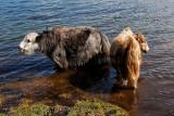Yaks take a refreshing dip in the Lake