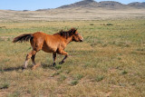 A young domesticated horse near Hustai