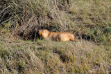 Marmot, Hustai National Park