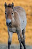 Takhi foal