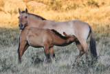 Takhi mare and foal, nursing