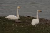Whooper Swans, Lake Erkhel