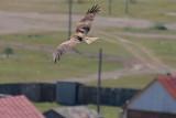 A Black-eared Kite Soars over Khatgal
