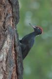 Black Woodpecker, Lake Khuvsgul