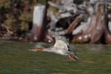 Common Merganser, Lake Khuvsgul