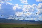 Flock of Demoiselle Cranes near Kharakhorum