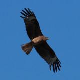 Black-eared Kite, near Kharakhorum