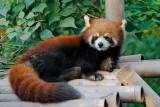 A red panda relaxing at Chengdu