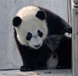 Panda cub at Chengdu